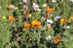 De lente wilde bloemen Stock Afbeelding