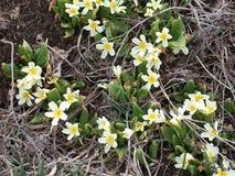 De lente wilde witte bloemen Stock Fotografie