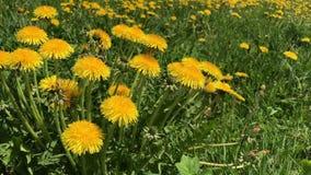 De lente De wind slingerde bloeiende paardebloemen in een weide stock video