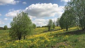 De lente De wind werpt bomen met het jonge gebladerte groeien op de helling In de weide een groot tapijt van paardebloemenbloei stock footage