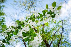 De lente witte bloeiende tak van appelboom op achtergrond van blauwe hemel Stock Afbeeldingen