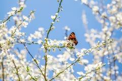 De lente witte bloesem en oranje vlinder op de blauwe hemelachtergrond royalty-vrije stock foto
