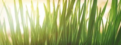 De lente of de zomer natuurlijke achtergrond met vers gras stock afbeelding