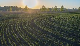 De lente, zonsopgang over de lentegerst in een cirkel wordt gezaaid die royalty-vrije stock afbeelding