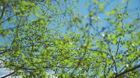 De lenteaard Mei: een duidelijke blauwe hemel en tot bloei komende knoppen in de bomen stock videobeelden