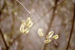 De lenteachtergrond - gele knoppen van geitwilg met tonen verwerking Royalty-vrije Stock Afbeelding
