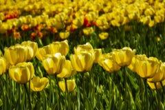 De lenteachtergrond met gele tulpen royalty-vrije stock afbeeldingen
