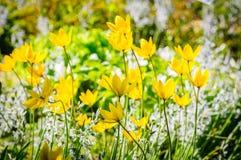 De lenteachtergrond met mooie gele tulpen Stock Foto's