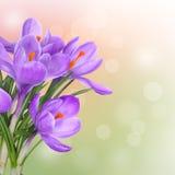 De lenteachtergrond met purpere krokusbloemen stock afbeeldingen