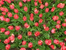 De lenteachtergrond met rode tulpen Royalty-vrije Stock Afbeelding