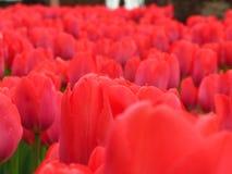 De lenteachtergrond met rode tulpen Royalty-vrije Stock Foto's