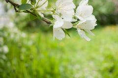 De lenteachtergrond met tak van witte bloeiende appelboom en vage groene grasachtergrond Royalty-vrije Stock Fotografie