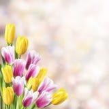 De lenteachtergrond met Tulp stock foto's