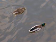De lenteachtergrond met twee zwemmende eenden Stock Fotografie