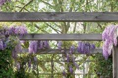 De lenteachtergrond met wisteria royalty-vrije stock afbeeldingen