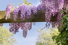 De lenteachtergrond met wisteria royalty-vrije stock fotografie