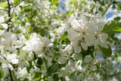 De lenteachtergrond met zonovergoten tak van tot bloei komende witte appelboom Royalty-vrije Stock Foto