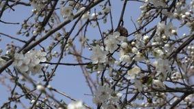 De lenteachtergrond van een tot bloei komende boomtakken met de lentebloemen Gezoem binnen Langzame Motie stock videobeelden