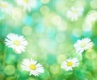 De lenteachtergrond van madeliefjes Stock Foto's