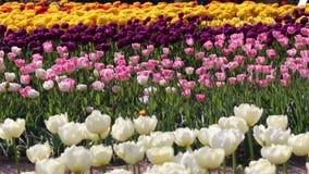 De lenteachtergrond van Tulpengebied stock videobeelden