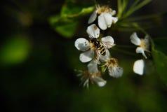 De lentebij Stock Foto