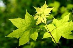 De lentebladeren met mooie kleuren Stock Afbeeldingen