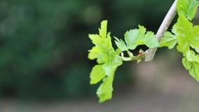 De lentebladeren van het zwarte Moerbeiboom schudden in zachte de lentewind, 4K stock video