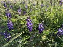De lentebloei in de heuvels van Judea stock foto