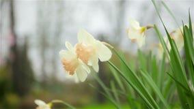 De lentebloei van gele narcissenbloemen in de tuin stock footage