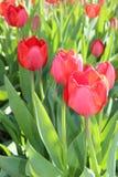 De lentebloei van tulpenbloemen in de tuin Royalty-vrije Stock Afbeeldingen