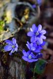De lentebloem die in bos bloeien Stock Afbeeldingen