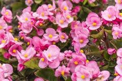 De lentebloem in Japan stock afbeelding