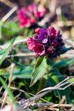 De lentebloem lungwort royalty-vrije stock afbeelding