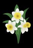 De lentebloem - narcissen Stock Afbeeldingen