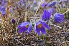 De lentebloem Pulsatilla Mooie purple weinig bont pasque-bloem Pulsatilla die op de lenteweide bloeien Stock Fotografie
