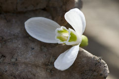 De lentebloem van Nfirst Stock Fotografie