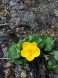 De lentebloem in water Royalty-vrije Stock Afbeeldingen