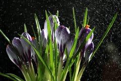 De lentebloemen, blauwe krokus op een zwarte achtergrond Royalty-vrije Stock Foto's