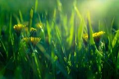 De lentebloemen in de wildernis op een zonnige dag Stock Afbeelding