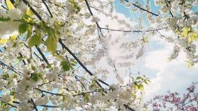 De lentebloemen die in de lente met blauwe hemel, zon en wolken bloeien stock videobeelden