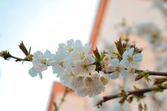 De lentebloemen in een boom worden gevonden die stock afbeelding