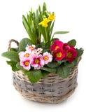 De lentebloemen in het planten van kom tegen wit wordt geïsoleerd dat Royalty-vrije Stock Afbeeldingen