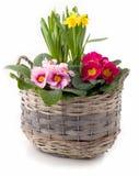 De lentebloemen in het planten van pot tegen wit wordt geïsoleerd dat Stock Foto