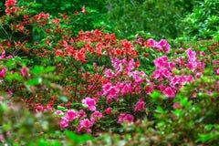 De lentebloemen in Isabella Plantation, Richmond Park Stock Foto's