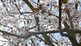 De lentebloemen met blauwe achtergrond stock videobeelden