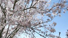De lentebloemen met blauwe achtergrond stock video