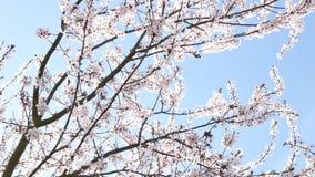 De lentebloemen met blauwe achtergrond stock footage