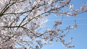 De lentebloemen met de blauwe achtergrond stock video