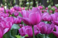 De lentebloemen in Moskou, jaar 2014 Stock Foto