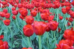 De lentebloemen in Moskou, jaar 2014 Royalty-vrije Stock Foto's
